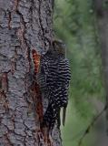 williamson's sapsucker female
