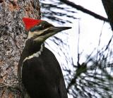 pileated woodpecker female-2