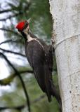 pileated woodpecker female-4