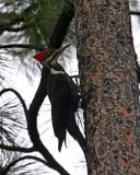 pileated woodpecker female-5