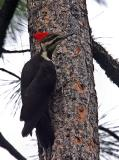 pileated woodpecker female-6