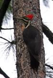 pileated woodpecker female-8