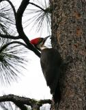 pileated woodpecker female