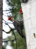 pileated woodpeckers shift change