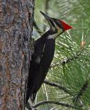 pileated female ahtanum