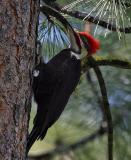 pileated male backlit