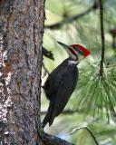 pileated male perched