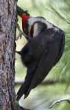 pileated male preening-1