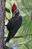 pileated male preening
