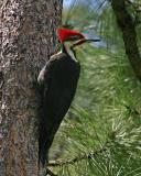 pileated male topknot raised