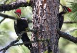 pileated pair-1