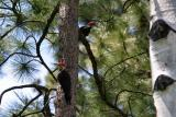 pileated pair-2