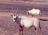 085 Arabian Oryx.jpg