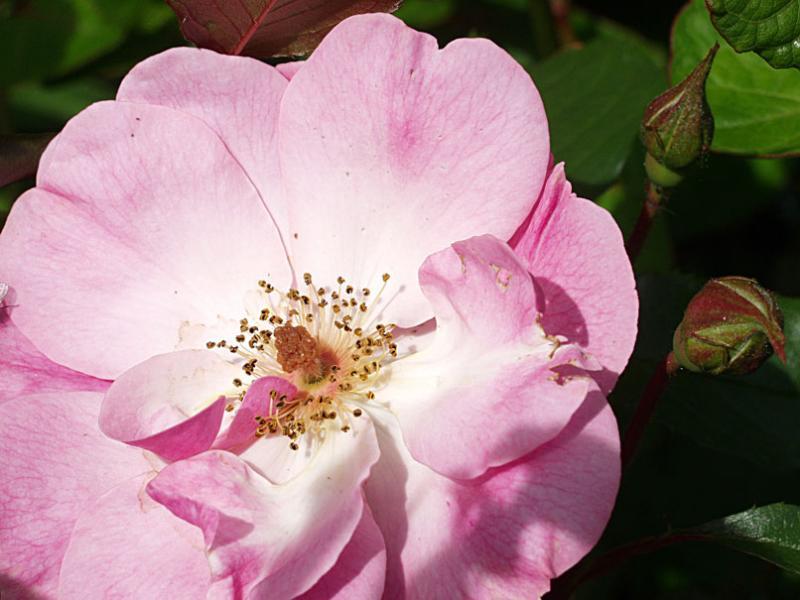 Rosa X Rosy Cushion