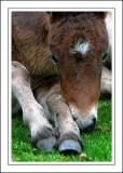 Dartmoor pony foal, Widecombe-in-the-Moor, Devon
