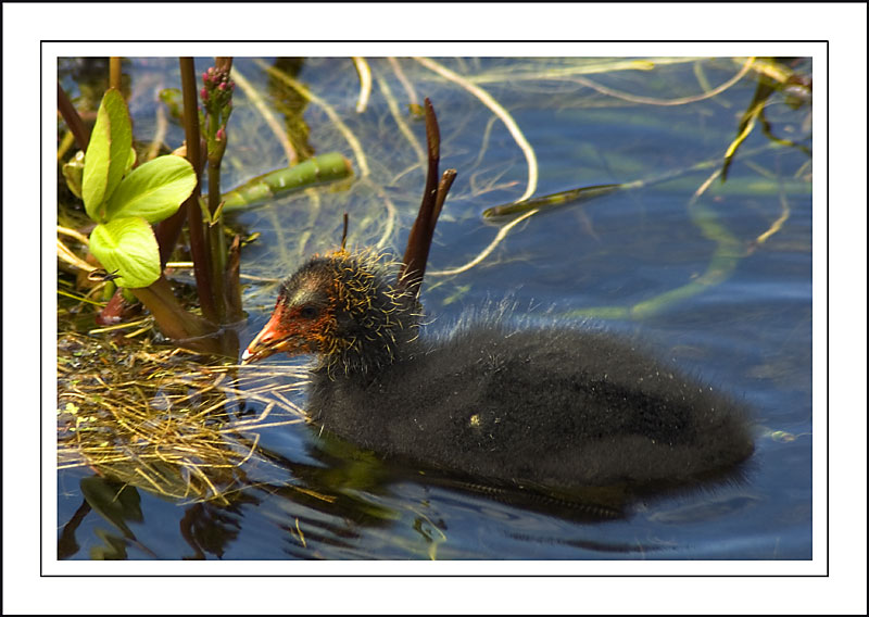 Cute (coot) chick!  ~ Stourhead