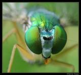 Flies (Long Legged)