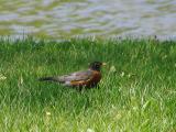 Squattin Robin(233)