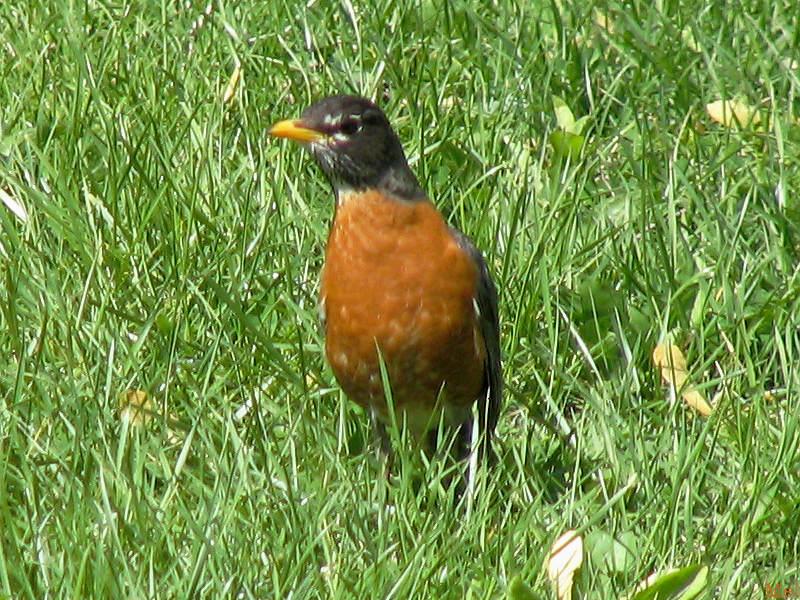 curious robin(411)