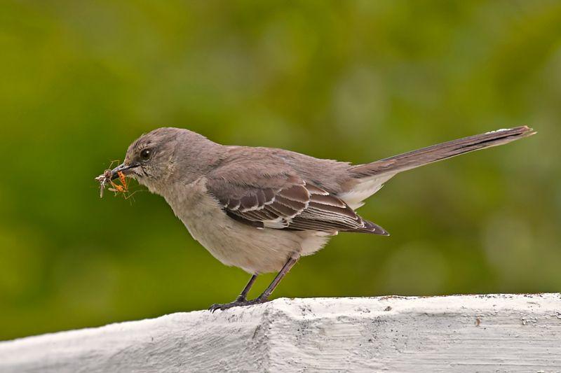 Mockingbird and Craneflies