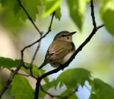 Red-eyed Vireo, Pawtuckaway SP, May