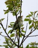 Willow Flycatcher, Parker River NWR, May