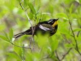 Magnolia Warbler, Parker River NWR, May