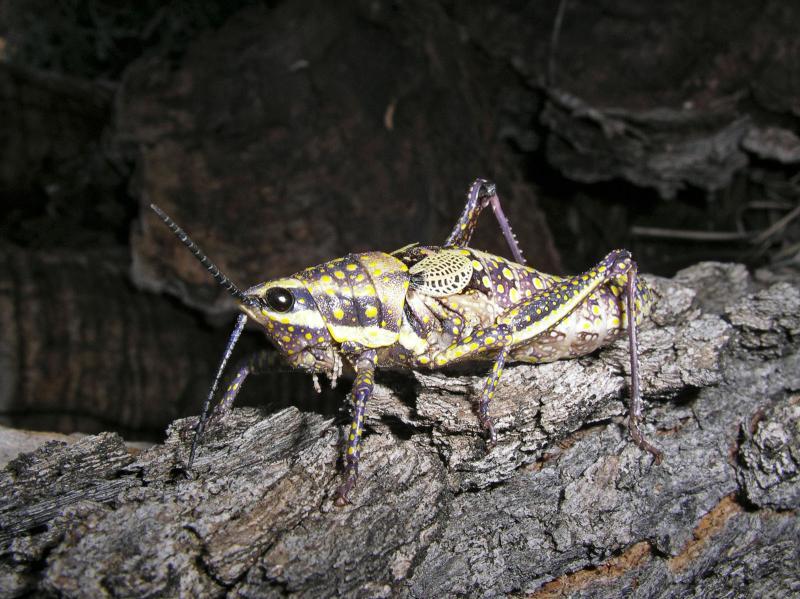 Early instar plague locust (IMGP2613)