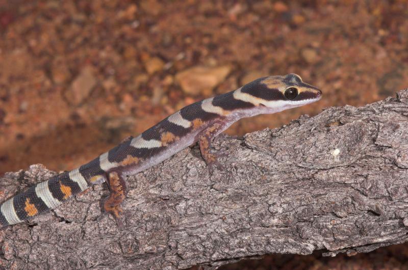_DSC8907-01 Moorinya gecko Oedura castelnaui 2005