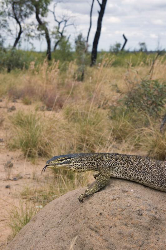 _DSC9131 reptile lizard tongue-flick goanna Varanus panoptes moorinya