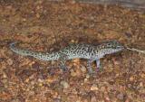 _DSC8267-01 Moorinya reptile gecko heteronotia binoei 2005