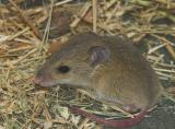 _DSC8356-01 Moorinya mammal delicate mouse 2005
