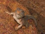 _DSC8681-01 Moorinya central netted dragon ctenophorus nuchalis 2005