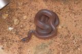_DSC8894-01 Moorinya snake Furina ornata 2005