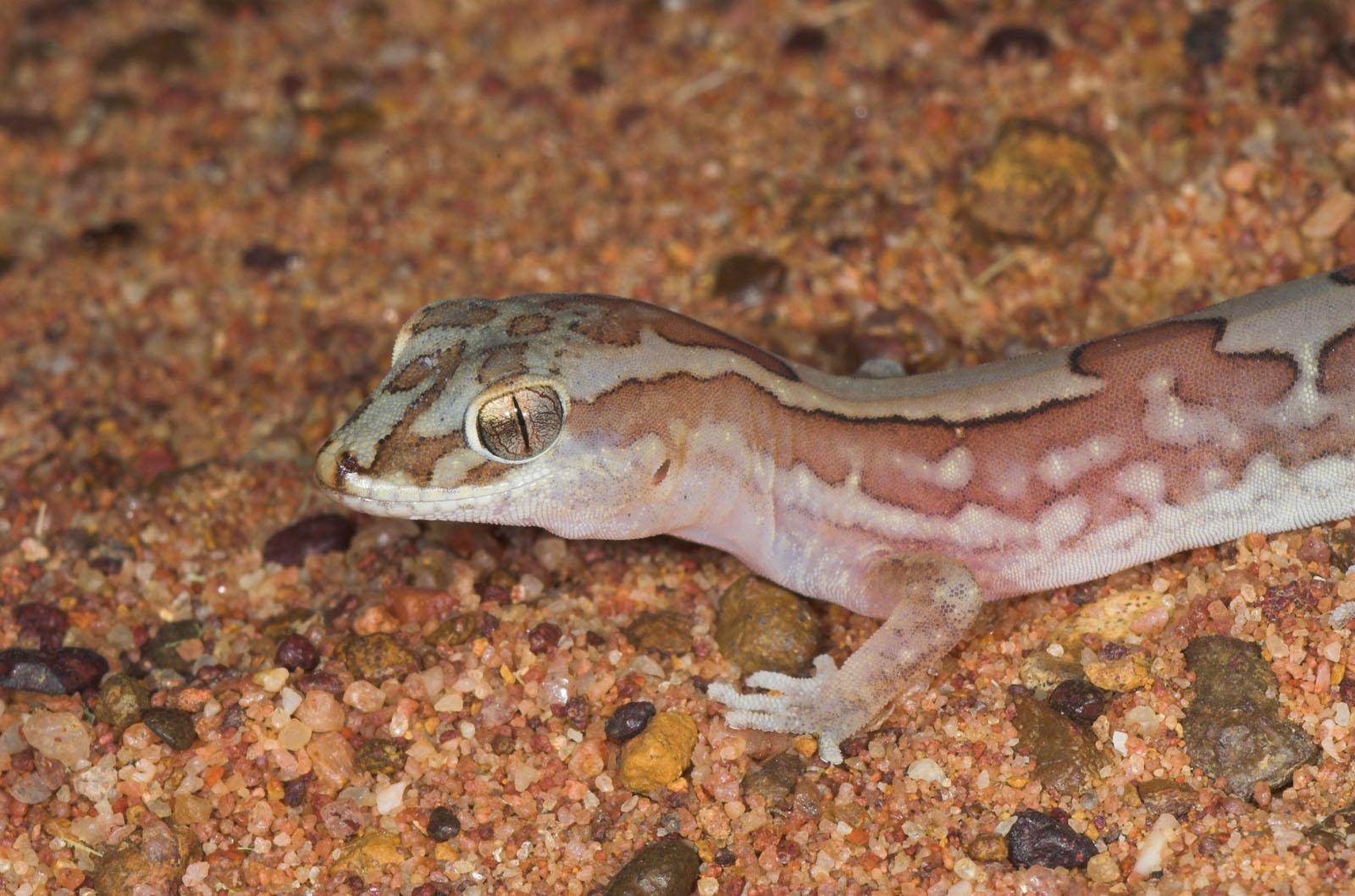 Box-patterned gecko <i>Diplodactylus steindachneri</i>, Moorinya 2005 (_DSC8366-01)