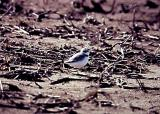 Snowy Plover - Dyer Co. TN.