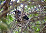 Blue Mockingbird -