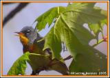 Paruline à collier (Northern Parula)