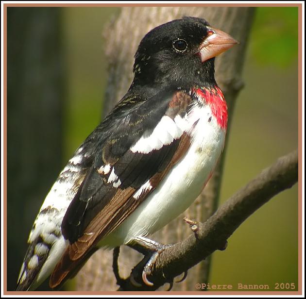 Cardinal à poitrine rose (Rose-breasted Grosbeak)