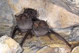 Bats - Cania Gorge National Park