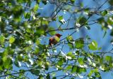 Summer Tanager 0405-1j  Hassayampa River, AZ