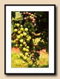 Raylen Syrah grapes--getting ripe