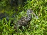Limpkin near nest
