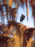 Limpkin in Spanish Moss