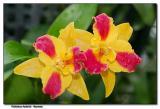 Orchid 23. Potinara Burana