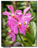 Orchid 4. Vanda hybrid
