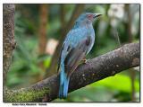 Asian Fairy Bluebird