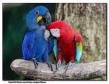 Hyacinth & Green-winged Macaws