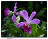 Orchid 18. Cattleya