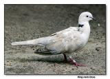 Ringneck Dove (African)